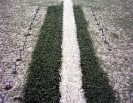Repaired synthetic grass streched seam